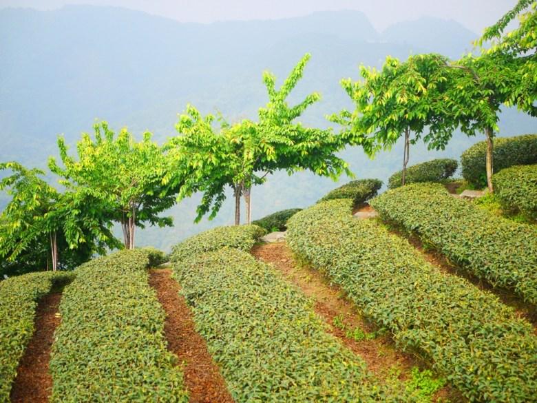 層層堆疊連貫的茶樹 | 遠眺群山之美 | 高山雲霧 | 茶園清新 | Zhushan | Nantou | RoundtripJp