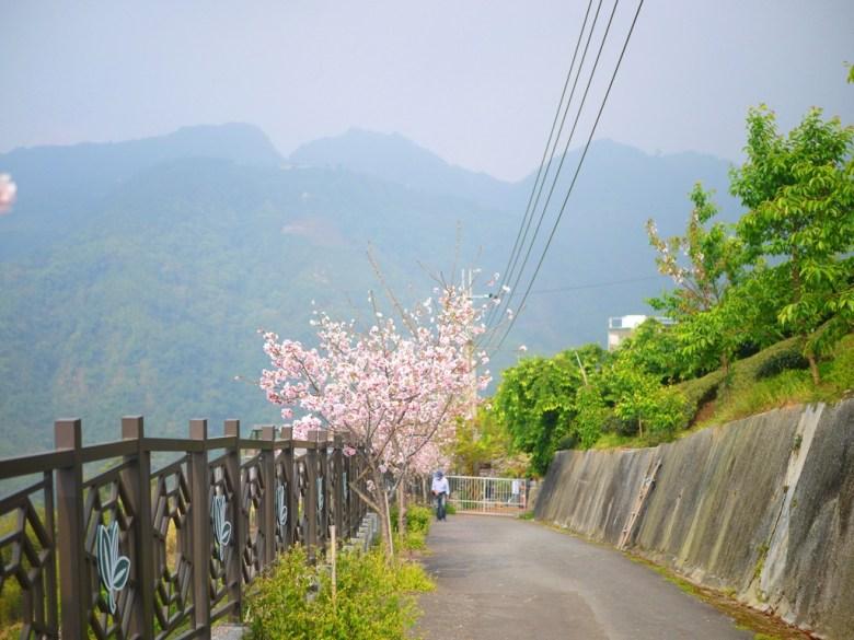 往下通往停車場 | 絕美吉野櫻 | 高山 | 青青綠樹 | 茶園清新 | Zhushan | Nantou | RoundtripJp