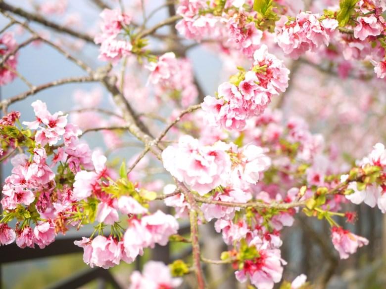 沿途滿滿的吉野櫻 | 美麗動人 | 粉紅少女系顏色 | 南投八卦茶園 | 竹山 | 南投 | 巡日旅行攝