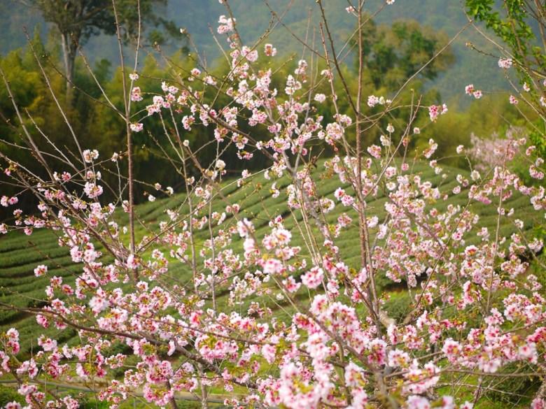整齊的茶園 | 茶樹與櫻花 | 高山茶園 | 南投八卦茶園 | 竹山 | 南投 | 巡日旅行攝