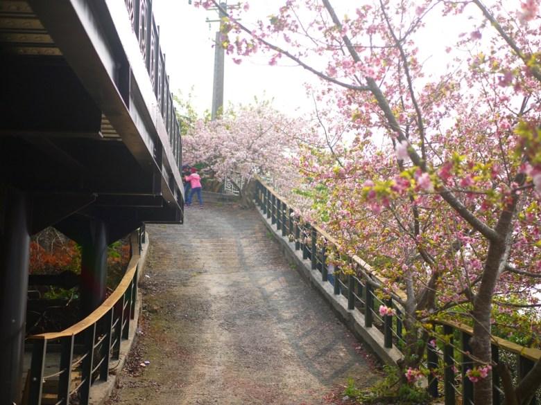 吉野櫻花步道 | 滿滿吉野櫻 | 前方為最美最滿開的吉野櫻 | 臺灣旅人打卡拍照熱點 | 網美熱點 | Zhushan | Nantou | RoundtripJp