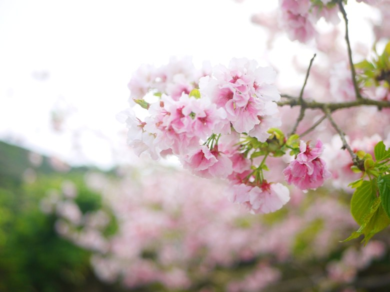 一抹粉色 | 粉紅夢幻 | 吉野櫻 | 南投八卦茶園 | 竹山 | 南投 | 巡日旅行攝