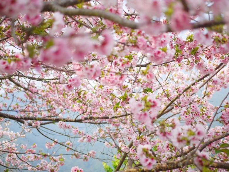 被吉野櫻鋪滿的粉色天空 | 絕美夢幻 | 日本風情 | 日本味 | Zhushan | Nantou | RoundtripJp