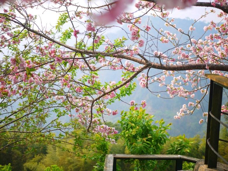 吉野櫻 | 粉紅 | 高山 | 綿延不絕的群山 | 青山 | 南投八卦茶園 | 竹山 | 南投 | RoundtripJp