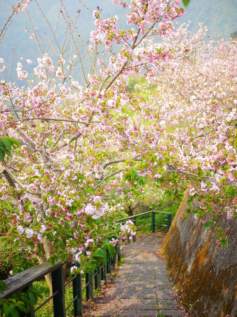 吉野櫻隧道 | 滿開的吉野櫻 | 粉嫩夢幻 | 網美拍照熱點 | Zhushan | Nantou | RoundtripJp