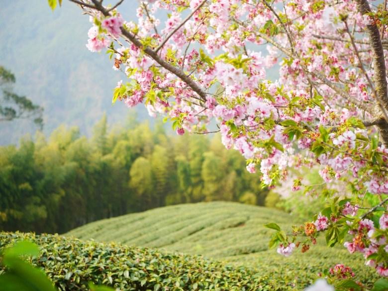 綿延不絕的茶樹 | 春茶3月~5月 | 新綠 | 吉野櫻 | 南投八卦茶園 | 竹山 | 南投 | 巡日旅行攝