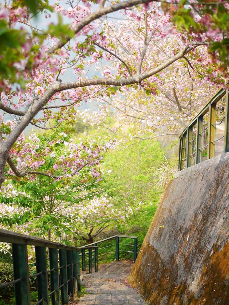 吉野櫻隧道 | 滿滿吉野櫻 | 粉嫩夢幻 | 網美拍照熱點 | 南投八卦茶園 | 竹山 | 南投 | 巡日旅行攝