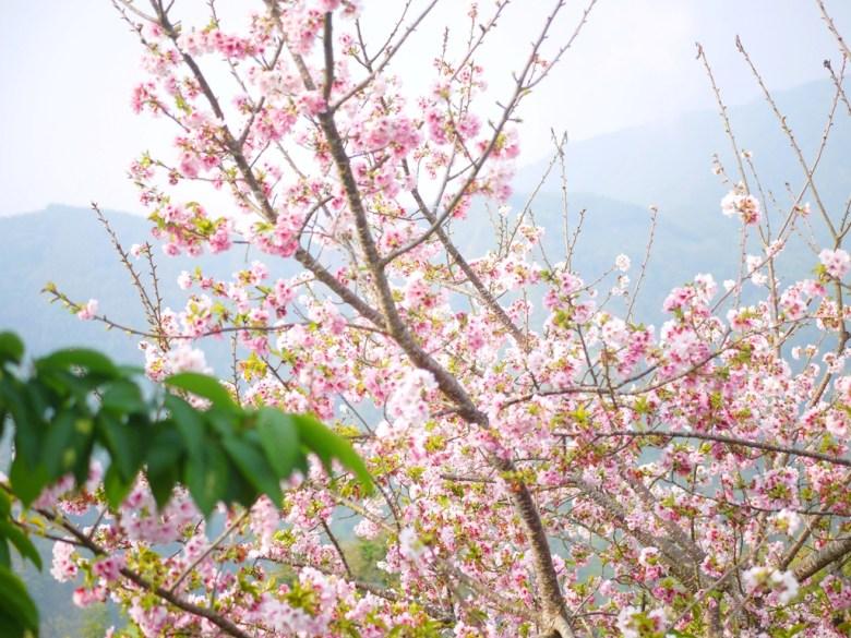 滿開的吉野櫻 | 高山雲霧 | 雲霧中的櫻花海 | 南投八卦茶園 | 竹山 | 南投 | 巡日旅行攝