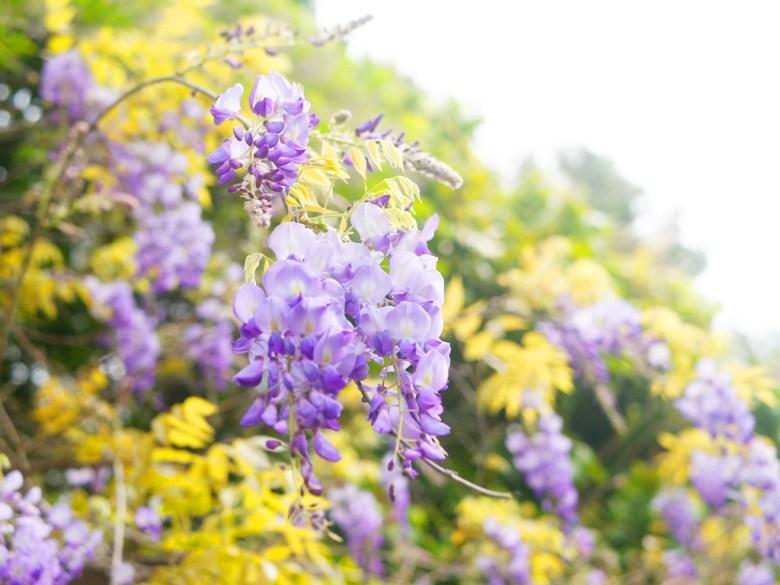 紫藤盛開的季節 | 紫色浪漫 | 苑裡 | 苗栗 | ユエンリー | ミアオリー | 巡日旅行攝