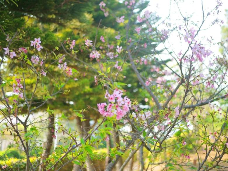 櫻花 | 八重櫻 | 山櫻花 | Sakura | さくら | サクラ | 銅鑼 | 苗栗 | トンルオ | ミアオリー | Tongluo | Miaoli | 巡日旅行攝
