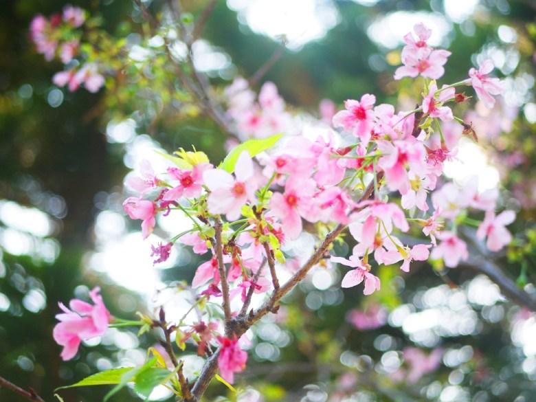 絕美的山櫻 | 八重櫻 | 粉嫩夢幻 | 銅鑼環保公園 | 銅鑼 | 苗栗 | トンルオ | ミアオリー | Tongluo | Miaoli | RoundtripJp
