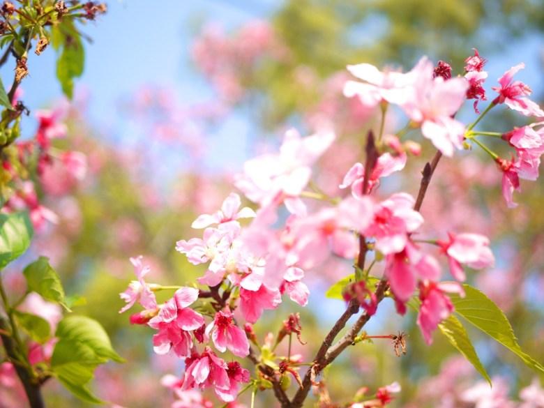 粉嫩粉紅的山櫻 | 八重櫻 | Sakura | さくら | サクラ | 銅鑼 | 苗栗 | トンルオ | ミアオリー | RoundtripJp