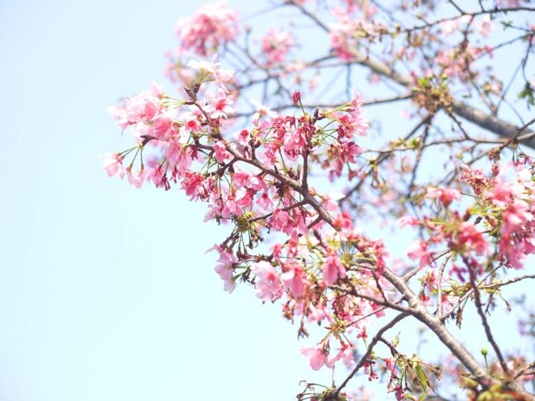 盛開的櫻花 | 陽光普照 | 銅鑼環保公園 | 銅鑼 | 苗栗 | トンルオ | ミアオリー | Tongluo | Miaoli | RoundtripJp