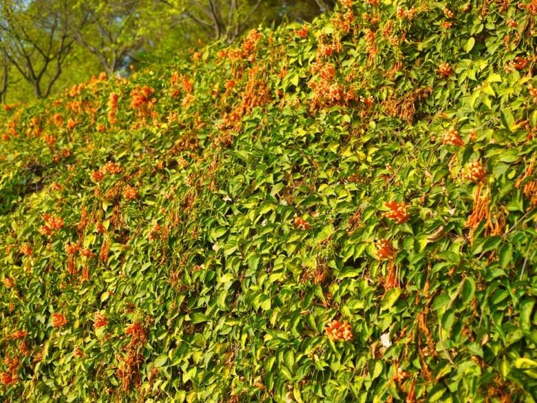 炮仗花花海 | 已過了最佳賞花期 | 銅鑼環保公園 | 銅鑼 | 苗栗 | トンルオ | ミアオリー | 巡日旅行攝