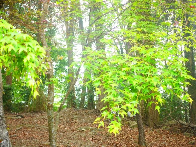 漂亮的青楓 | 楓葉 | 楓樹 | Dasyueshan National Forest Recreation Area | 收費站後第一個停車場 | RoundtripJp