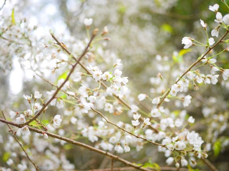 絕美白色櫻花 | 霧社櫻 | 臺灣固有種 | 第一個停車場後往上沿途的櫻花 | 大雪山國家森林遊樂區 | 和平 | 台中 | 巡日旅行攝