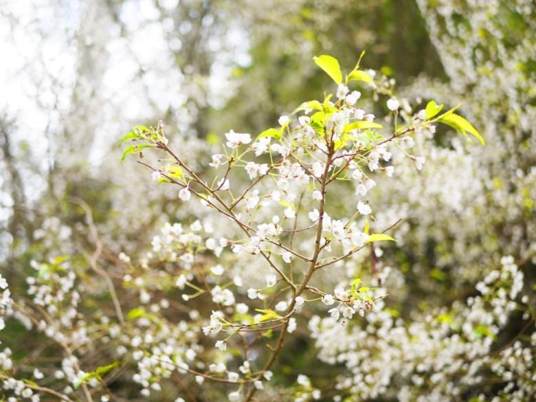 迷你的白色櫻花 | 臺灣固有種 | 第一個停車場後往上沿途的櫻花 | 大雪山國家森林遊樂區 | 和平 | 台中 | 巡日旅行攝