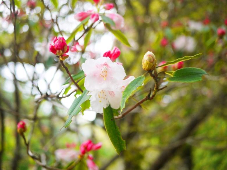 玉山杜鵑 | 粉紅迷人 | 粉嫩 | 大雪山國家森林遊樂區 | 和平 | 台中 | RoundtripJp