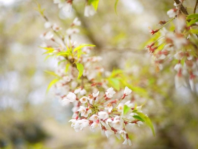 小小的霧社櫻花朵 | 大雪山遊客中心前 | 網美景點 | 大雪山國家森林遊樂區 | 和平 | 台中 | 巡日旅行攝