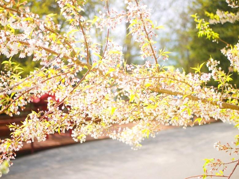 盛開的霧社櫻 | 大雪山遊客中心前 | 網美景點 | 大雪山國家森林遊樂區 | 和平 | 台中 | RoundtripJp