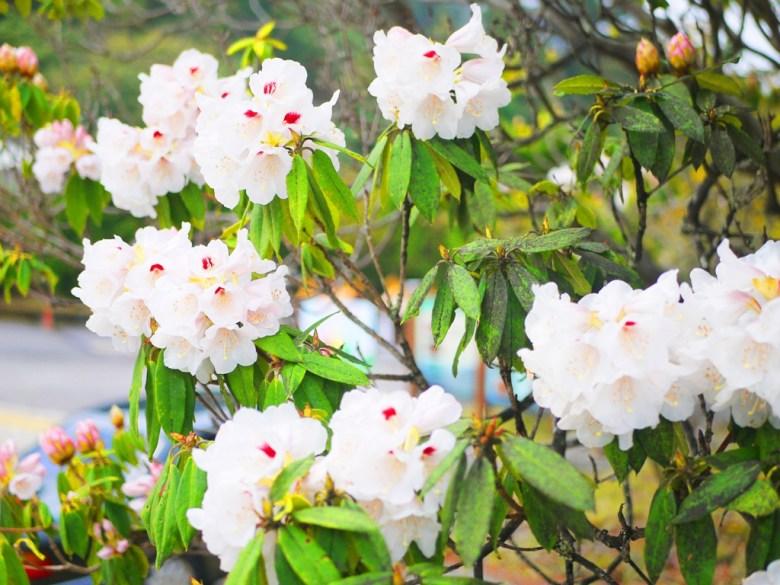 滿滿的白色玉山杜鵑 | 絕美景緻 | 大雪山國家森林遊樂區 | 和平 | 台中 | RoundtripJp