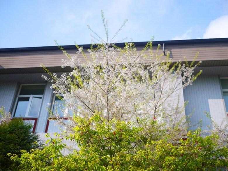 大雪山旅客中心後方 | 霧社櫻 | 絕美的白色櫻花 | 大雪山國家森林遊樂區 | 和平 | 台中 | 巡日旅行攝