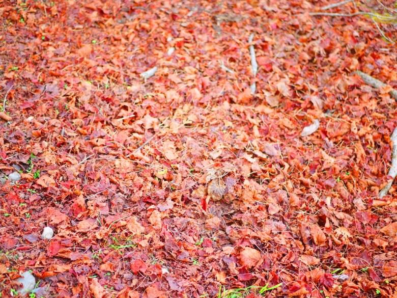 臺灣紅榨槭 | 美麗的紅葉 | 紅葉地毯 | 大雪山國家森林遊樂區 | 和平 | 台中 | 巡日旅行攝