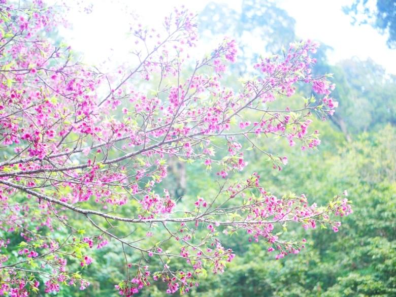 往大雪山沿途的美麗粉紅山櫻花 | 大雪山國家森林遊樂區 | 和平 | 台中 | RoundtripJp