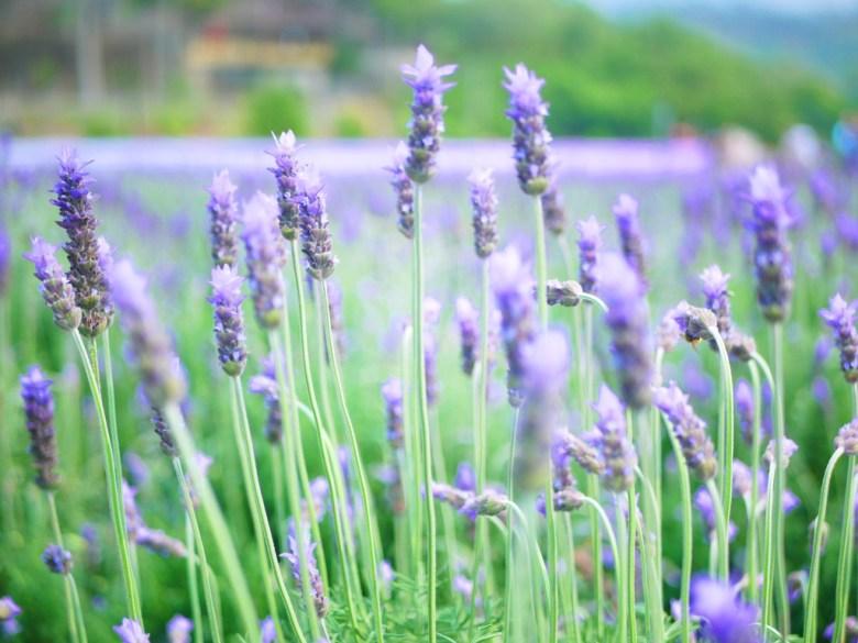 紫色花海 | 滿開的薰衣草 | 香氣四溢 | 高雅清香 | トウウー | ミアオリー | 頭屋 | 苗栗 | RoundtripJp