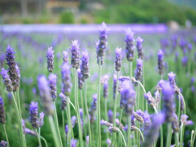 夢幻的滿開薰衣草 | 齒葉薰衣草 | Lavender | Lavandula | 臺灣旅人 | 網美景點 | 拍好拍滿 | 頭屋 | 苗栗 | 巡日旅行攝