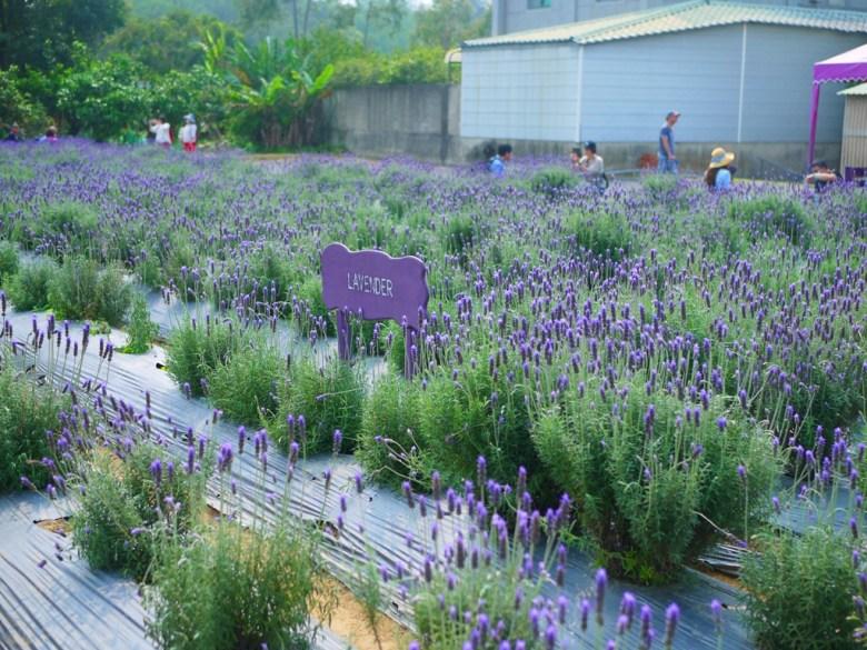 Lavender | 齒葉薰衣草 | Lavandula | 臺灣旅人 | 網美景點 | 頭屋 | 苗栗 | RoundtripJp