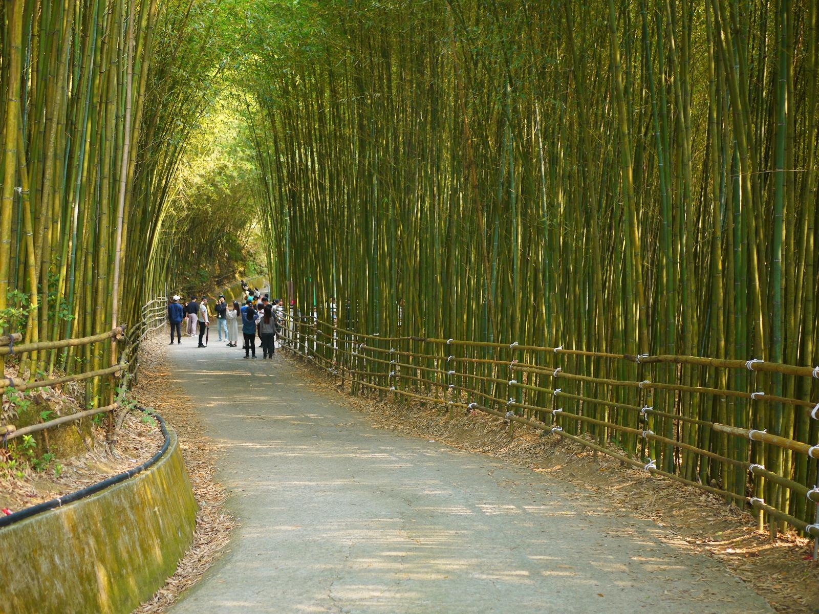 彷彿置身在日本京都嵐山的竹林小徑 | 烏嘎彥竹林 | タイアン | ミアオリー | 巡日旅行攝
