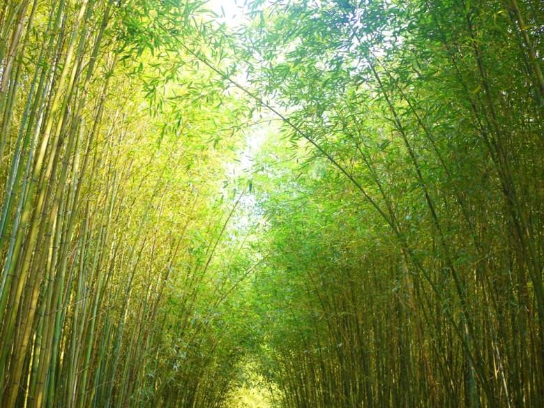 仰望竹林小徑之美 | 最有日本京都嵐山的竹林小徑氣氛的一小段 | 烏嘎彥竹林 | 泰安 | 苗栗 | RoundtripJp