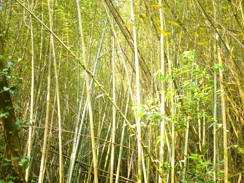 陽光燦爛的竹林 | 森呼吸 | 散步 | 清幽空靈 | 竹之美 | 烏嘎彥竹林 | 泰安 | 苗栗 | 巡日旅行攝