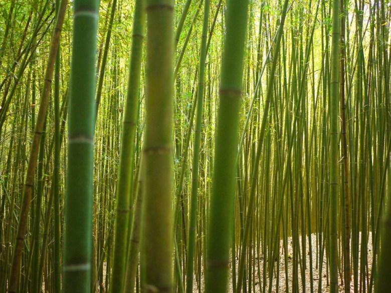 排列整齊的竹林 | 密集 | 數大便是美 | 烏嘎彥竹林 | 泰安 | 苗栗 | RoundtripJp