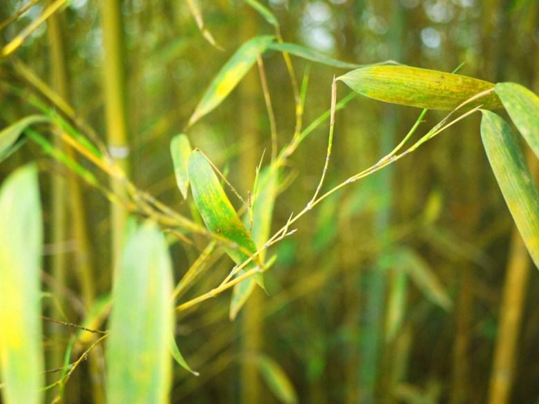 竹林之美 | 竹子特寫 | 竹葉 | 高山秘境 | 泰安 | 苗栗 | 巡日旅行攝