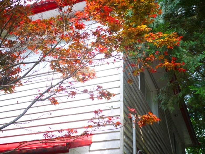 紅葉之美 | 槭樹 |春天的紅葉 | 奧萬大國家森林遊樂區 | レンアイ | ナントウ | 巡日旅行攝