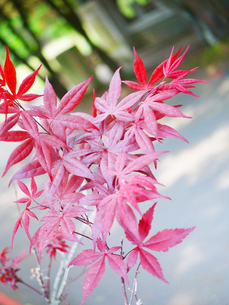 美麗的紅葉 | 槭樹 | 葉葉分明 | 美不勝收 | 奧萬大國家森林遊樂區 | レンアイ | ナントウ | RoundtripJp