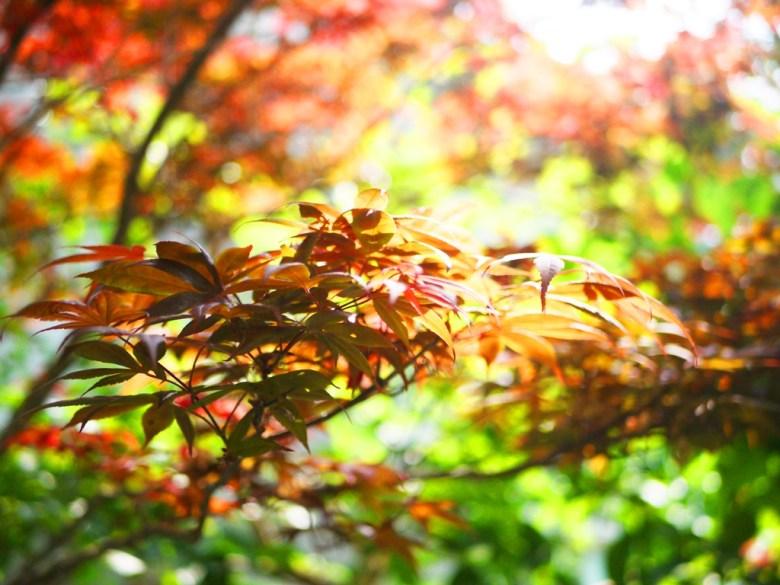 繽紛的楓葉 | 槭樹 | 紅綠映襯 | 青楓 | 奧萬大國家森林遊樂區 | レンアイ | ナントウ | RoundtripJp