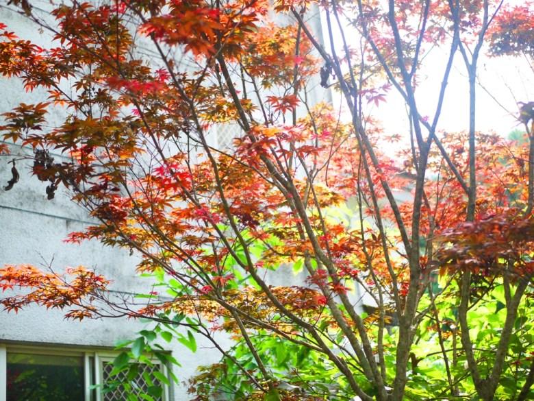 紅葉 | 槭樹 | 美麗的紅葉 | Maple | 日本味 | 奧萬大國家森林遊樂區 | レンアイ | ナントウ | 巡日旅行攝