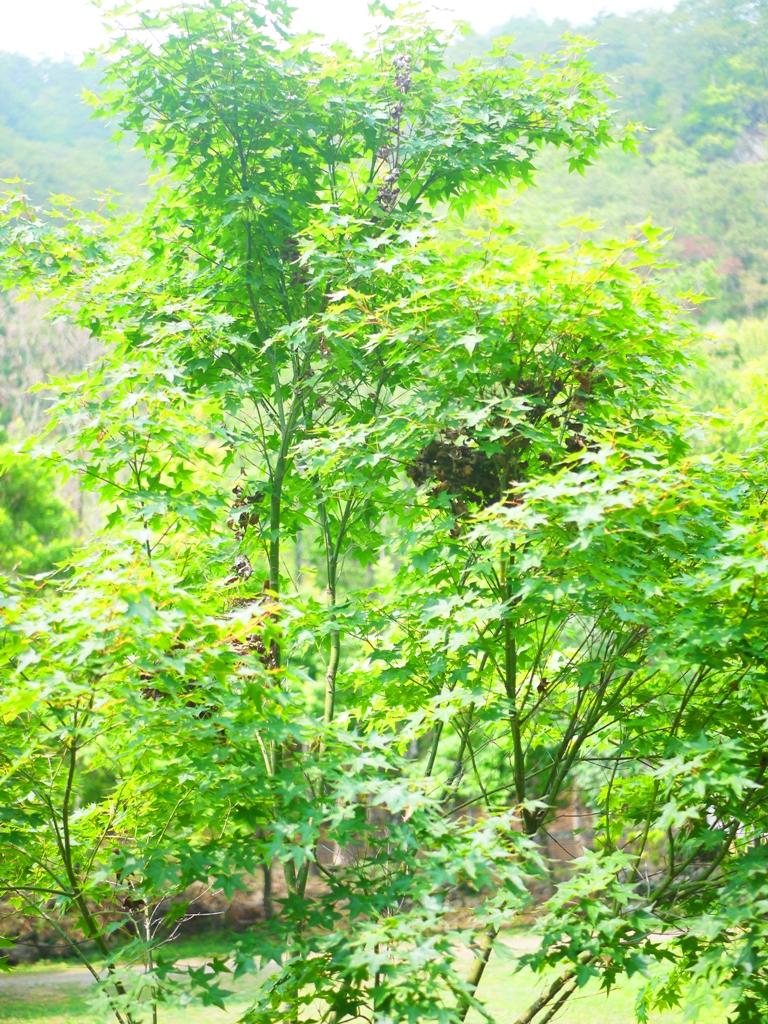 青楓 | 楓葉 | Maple | 日本味 | 奧萬大國家森林遊樂區 | レンアイ | ナントウ | 巡日旅行攝
