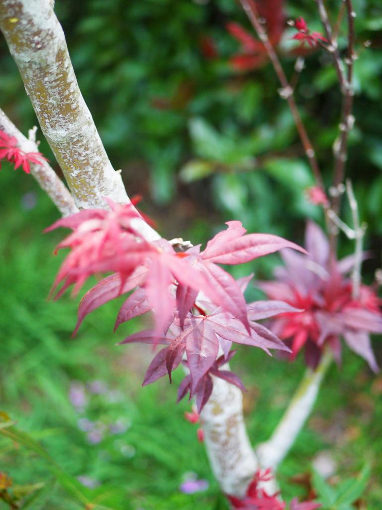 深紅的紅葉 | 槭樹 | Aowanda National Forest Recreation Area | Qinai | Renai | Nantou | 巡日旅行攝