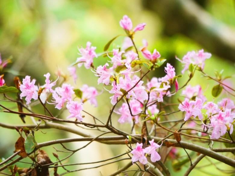 美麗的小粉紅花 | 好漢坡步道 | Strongman Slope | 奧萬大國家森林遊樂區 | レンアイ | ナントウ | RoundtripJp