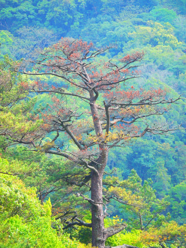 高聳的巨樹 | 古木 | 青山綠樹 | 奧萬大國家森林遊樂區 | レンアイ | ナントウ | 巡日旅行攝