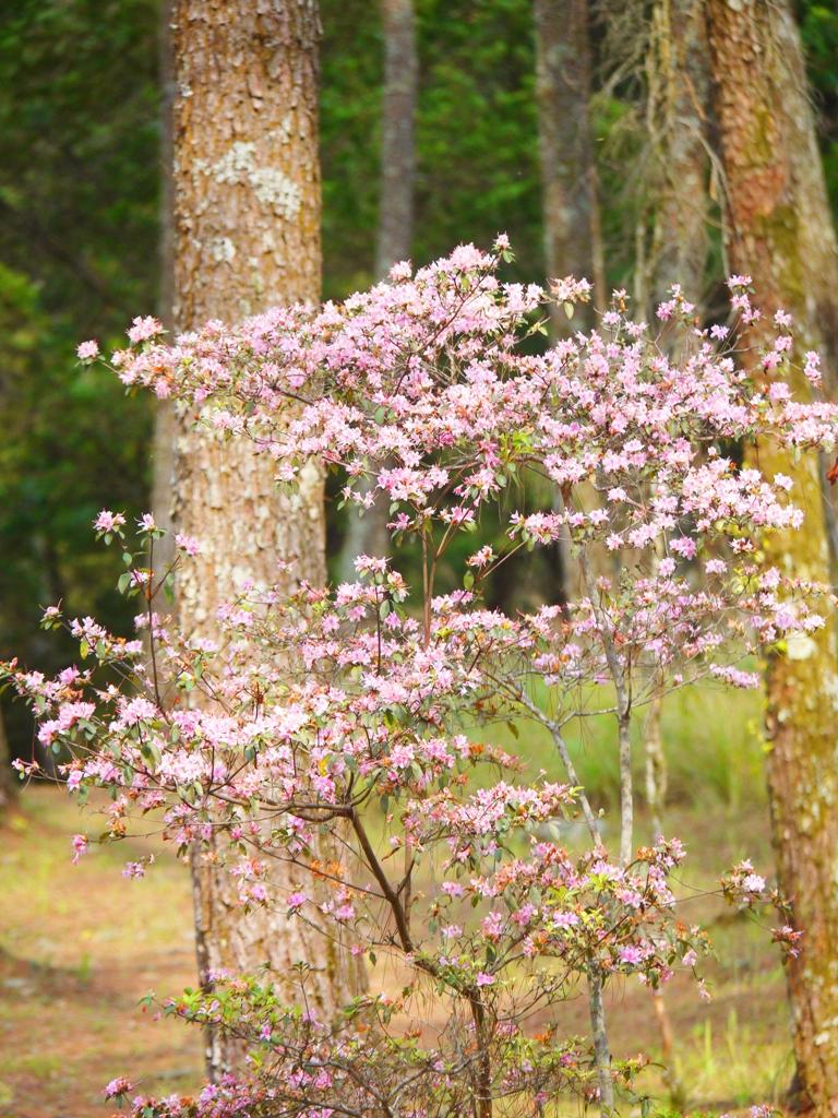粉紅花卉 | 松林區 | 奧萬大國家森林遊樂區 | レンアイ | ナントウ | 巡日旅行攝