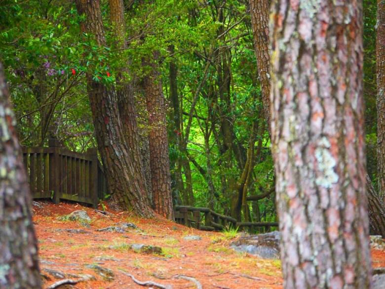 奧萬大吊橋的終端 | 松林區 | 奧萬大國家森林遊樂區 | レンアイ | ナントウ | 巡日旅行攝