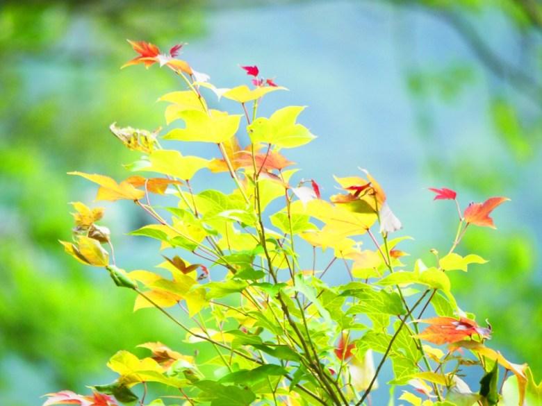 楓葉 | 楓紅 | 青楓 | 黃楓 | 楓葉的故鄉 | 奧萬大國家森林遊樂區 | レンアイ | ナントウ | RoundtripJp