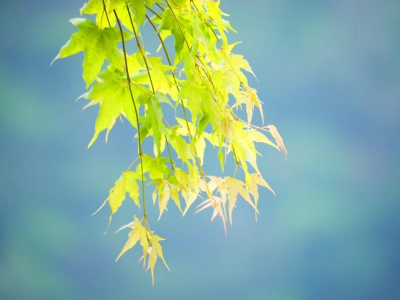 青楓 | 楓葉的故鄉 | 奧萬大國家森林遊樂區 | レンアイ | ナントウ | 巡日旅行攝