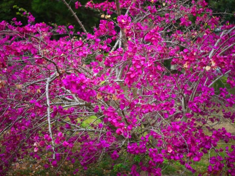 美麗的花卉 | 台灣第一水庫 | 虎頭埤風景區內 | 新化 | 台南 | 巡日旅行攝