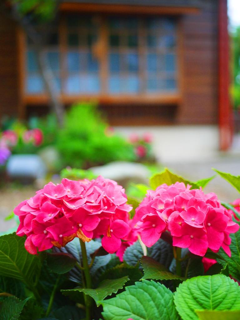 花團錦簇 | 繡球花與日式建築 | 和風典雅 | 紫陽花 | 小鎌倉感 | ナンジュアン | ミアオリー | RoundtripJp